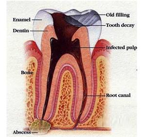 Tooth Anatomy | Palladium-Dental.com